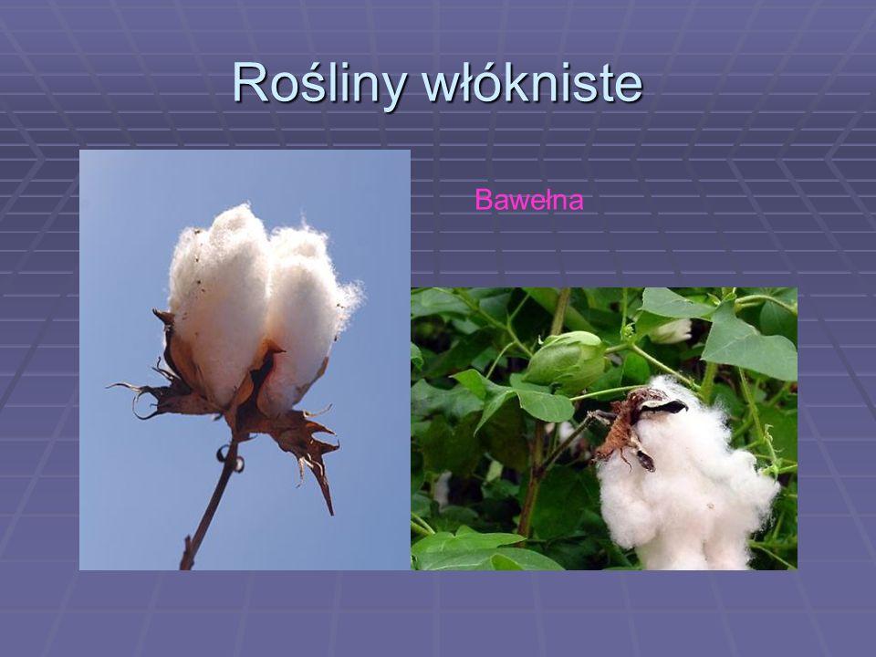 Rośliny włókniste Bawełna