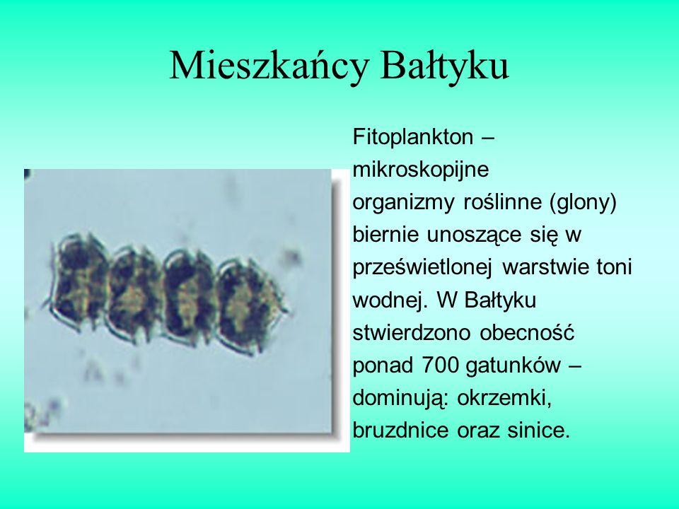 Mieszkańcy Bałtyku Fitoplankton – mikroskopijne