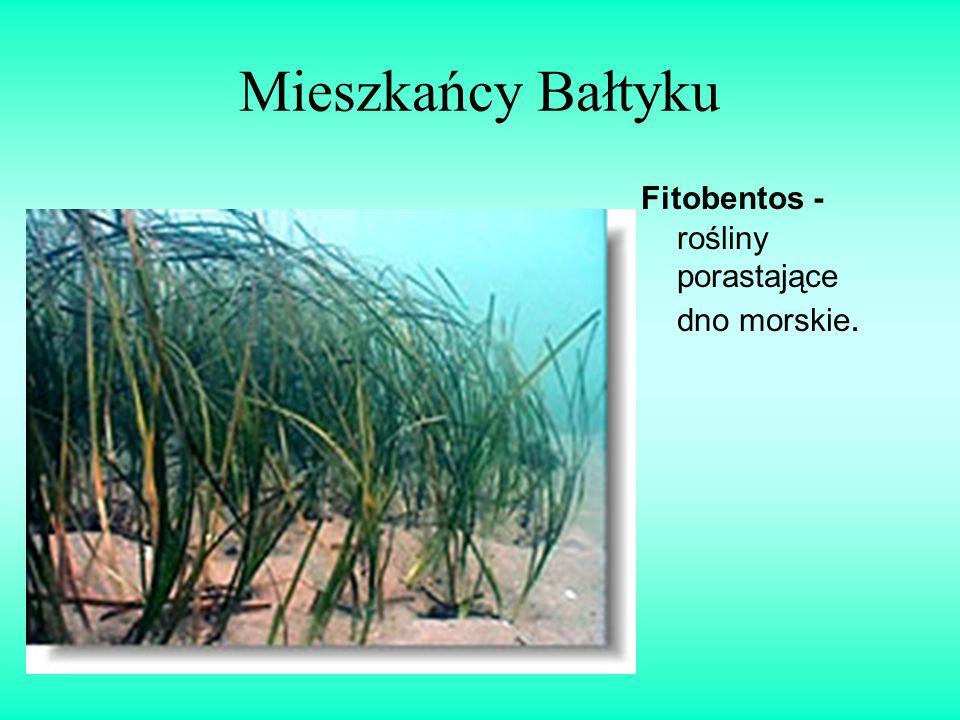 Mieszkańcy Bałtyku Fitobentos - rośliny porastające dno morskie.