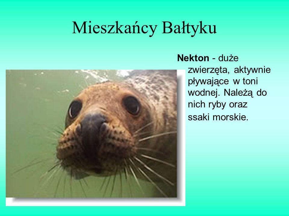 Mieszkańcy Bałtyku Nekton - duże zwierzęta, aktywnie pływające w toni wodnej.