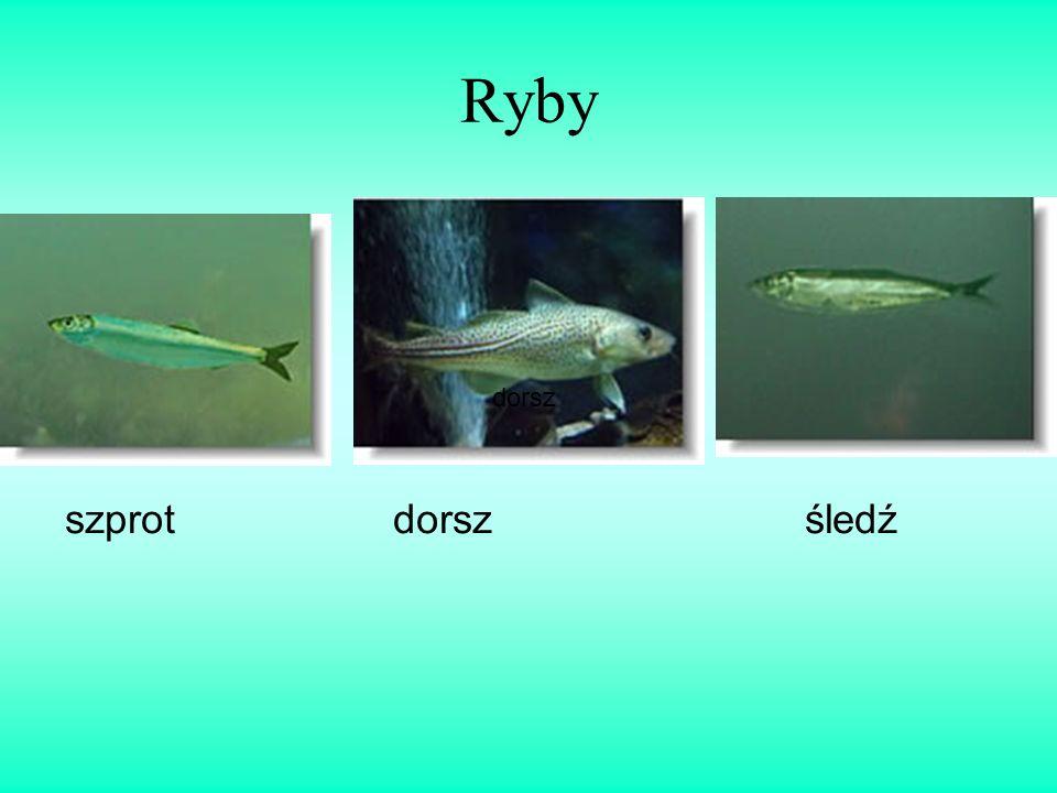 Ryby dorsz szprot dorsz śledź