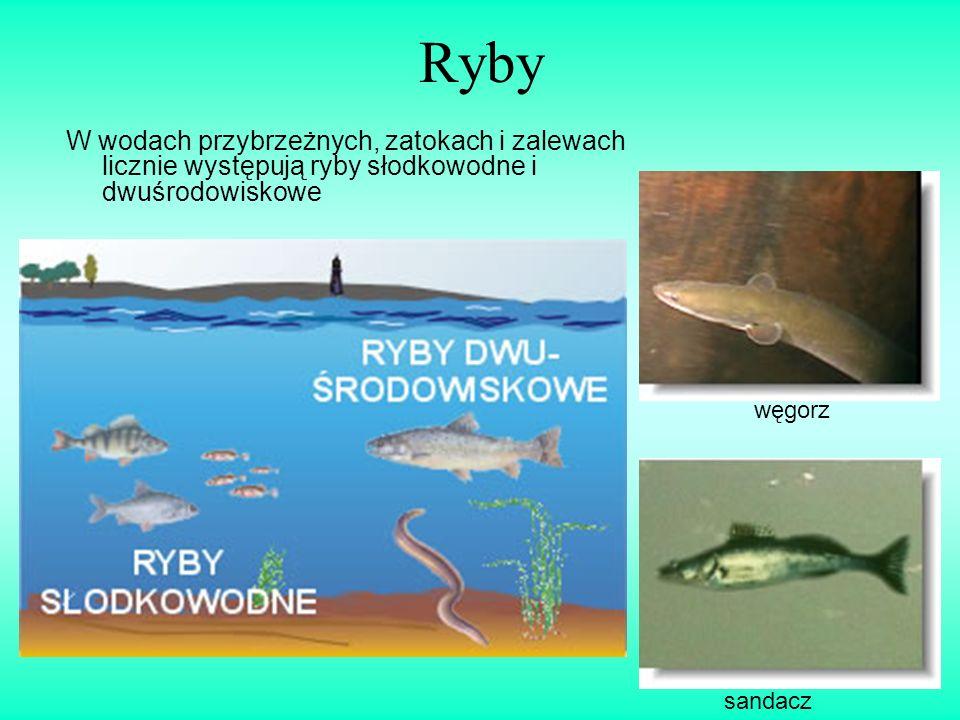 Ryby W wodach przybrzeżnych, zatokach i zalewach licznie występują ryby słodkowodne i dwuśrodowiskowe.