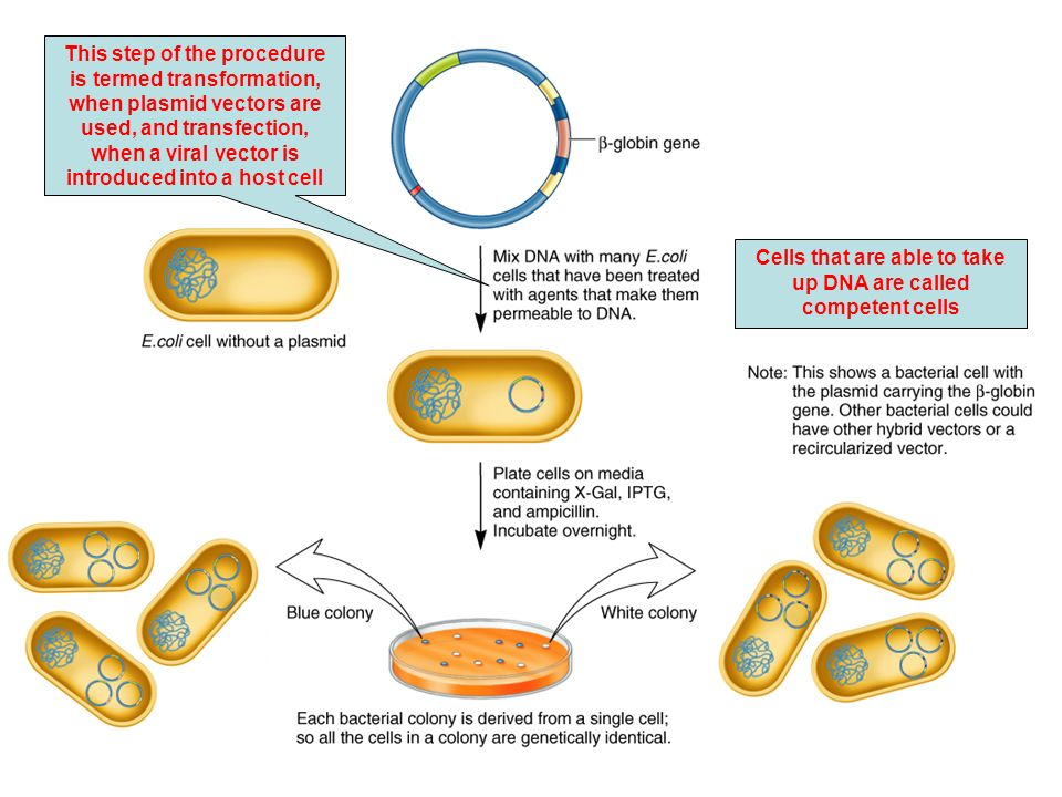 Cells that are able to take up DNA are called competent cells