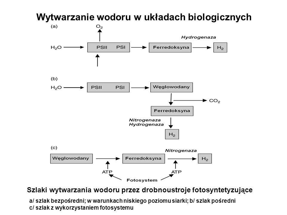 Wytwarzanie wodoru w układach biologicznych