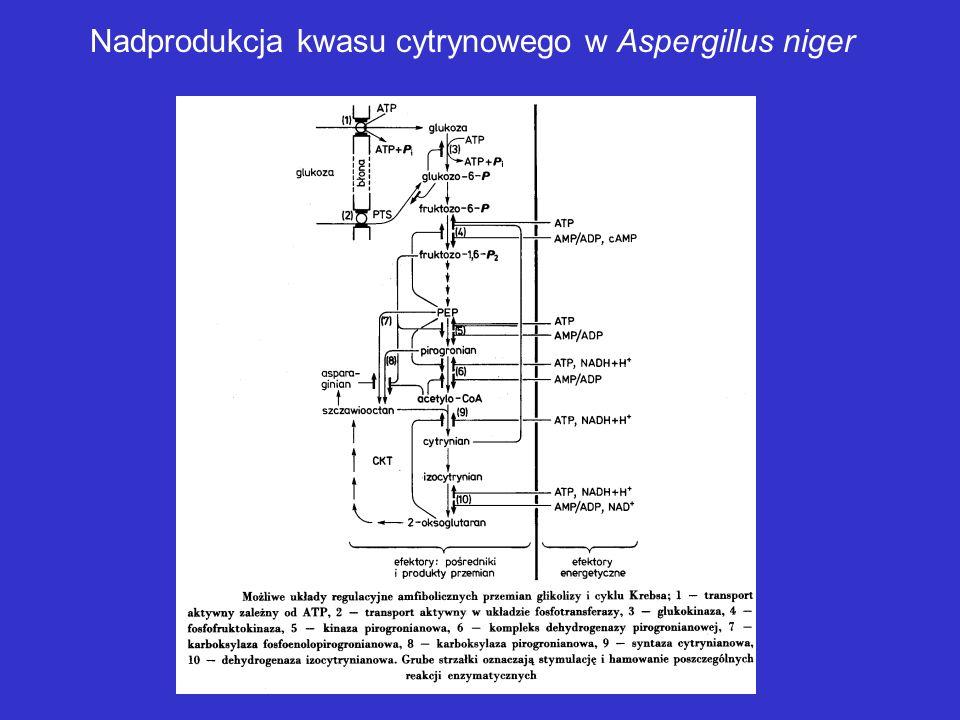 Nadprodukcja kwasu cytrynowego w Aspergillus niger
