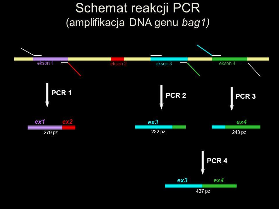 Schemat reakcji PCR (amplifikacja DNA genu bag1)