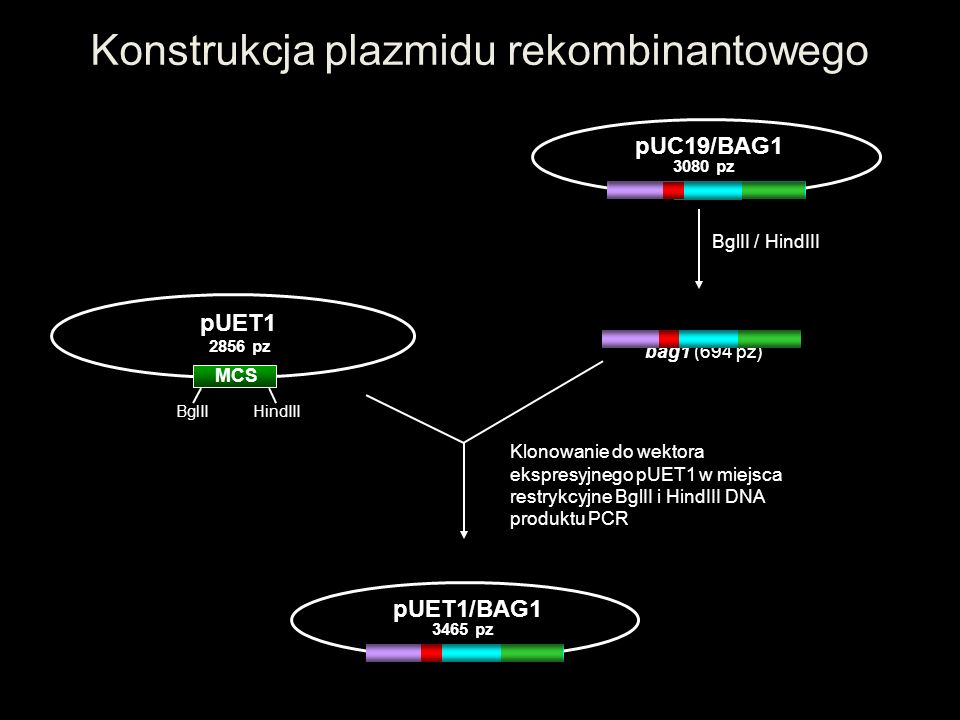 Konstrukcja plazmidu rekombinantowego