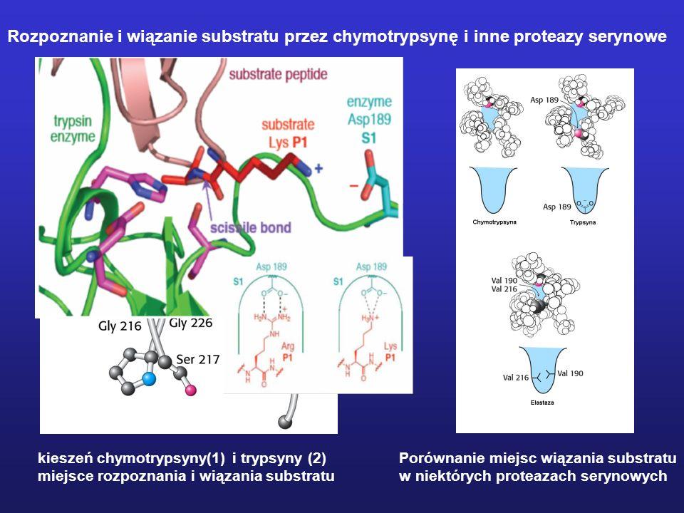 Rozpoznanie i wiązanie substratu przez chymotrypsynę i inne proteazy serynowe