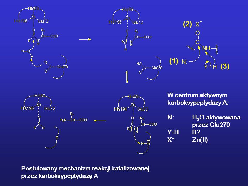 W centrum aktywnym karboksypeptydazy A: N: H2O aktywowana. przez Glu270. Y-H B X+ Zn(II) Postulowany mechanizm reakcji katalizowanej.