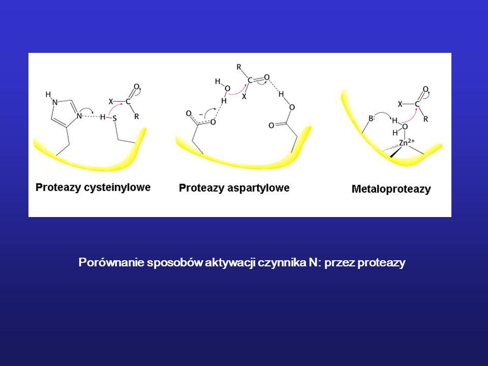 Porównanie sposobów aktywacji czynnika N: przez proteazy
