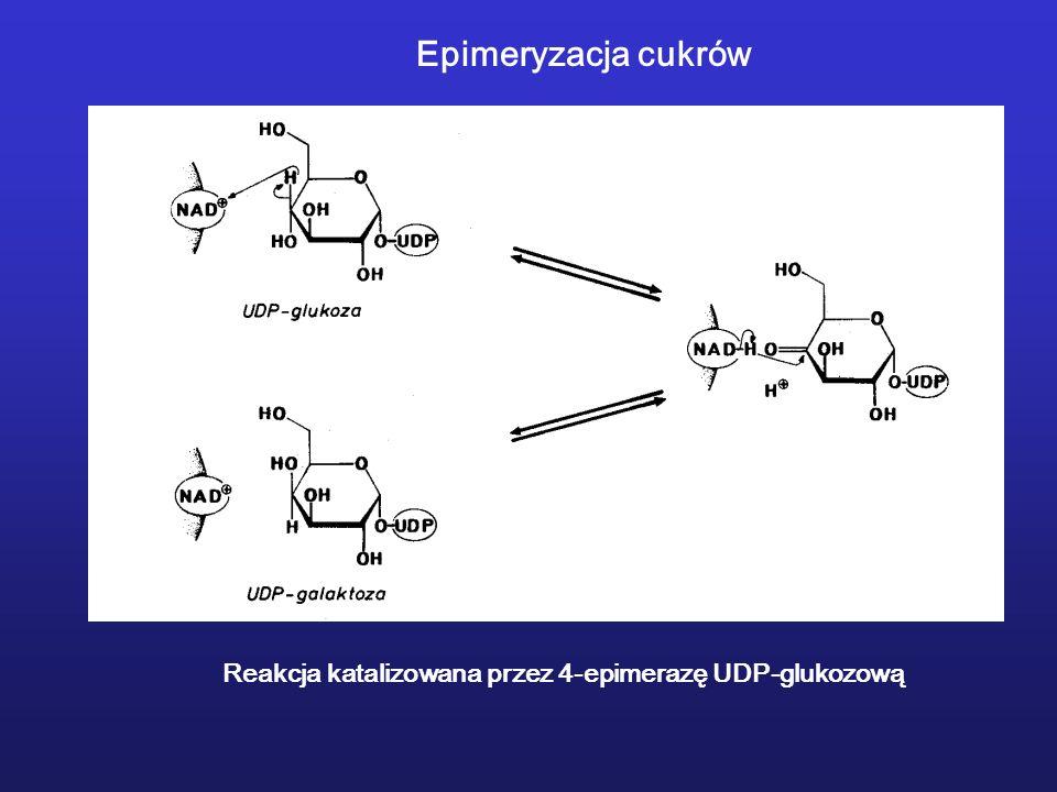 Epimeryzacja cukrów Reakcja katalizowana przez 4-epimerazę UDP-glukozową