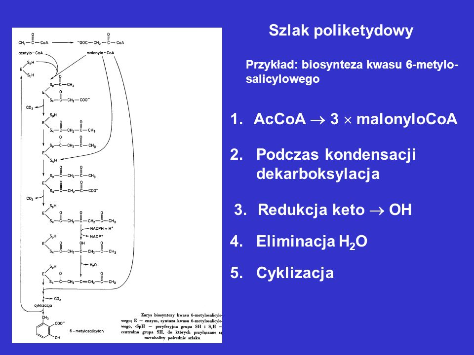 Szlak poliketydowy AcCoA  3  malonyloCoA 2. Podczas kondensacji