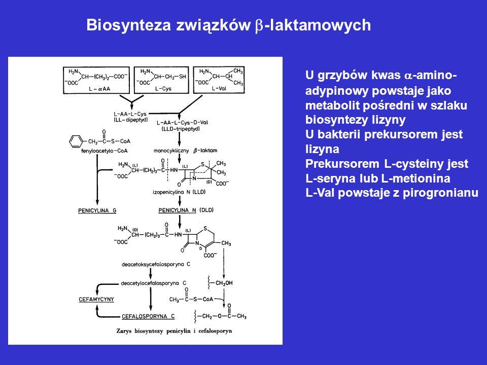 Biosynteza związków -laktamowych