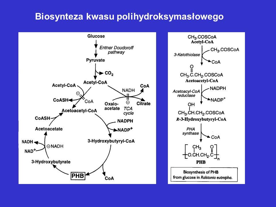 Biosynteza kwasu polihydroksymasłowego
