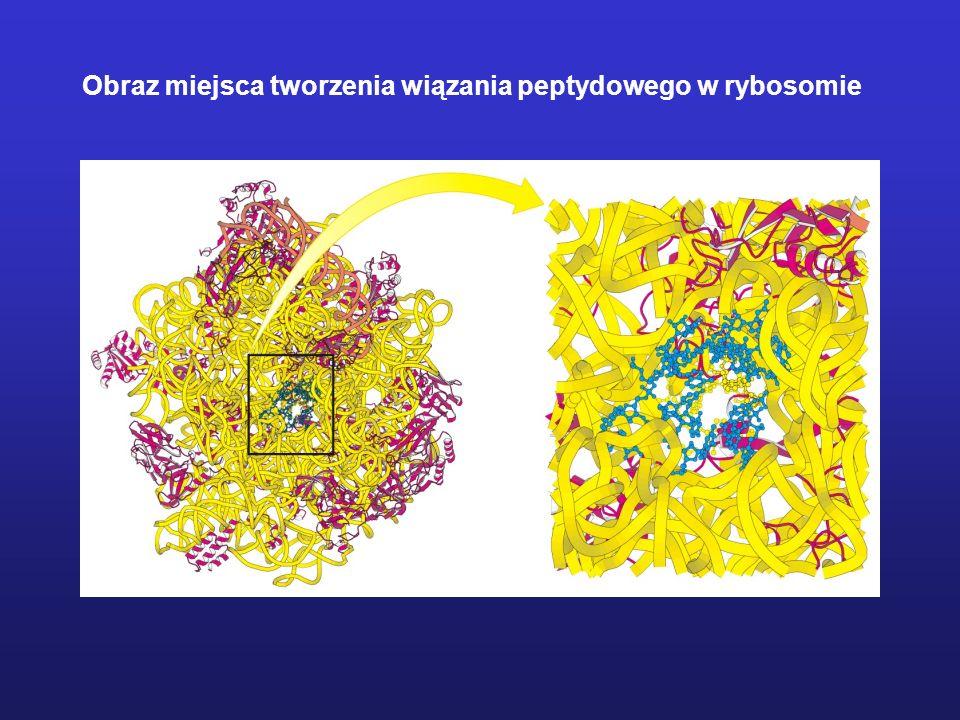 Obraz miejsca tworzenia wiązania peptydowego w rybosomie