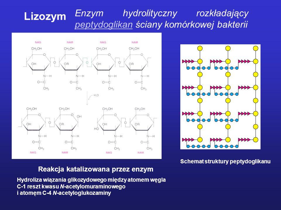 Enzym hydrolityczny rozkładający peptydoglikan ściany komórkowej bakterii