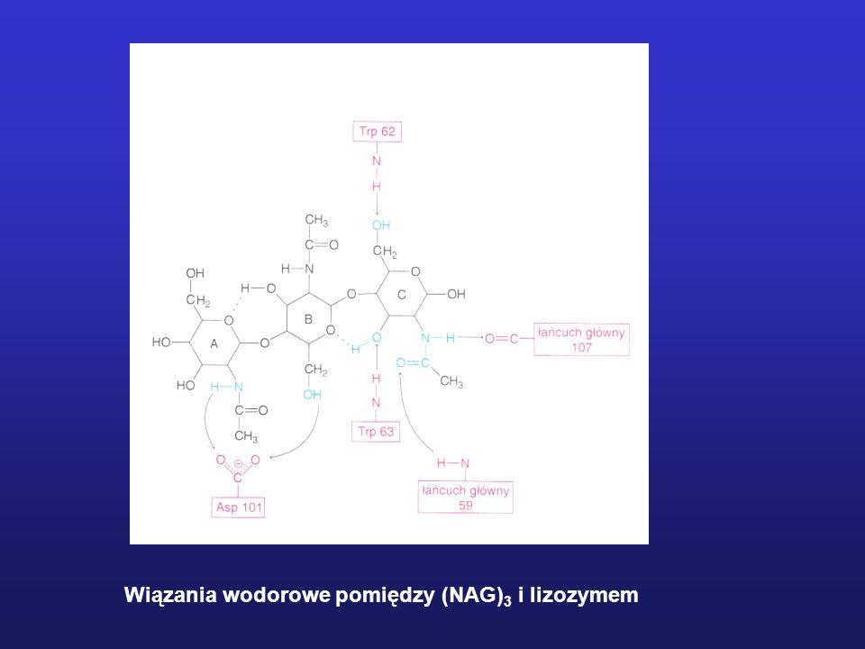 Wiązania wodorowe pomiędzy (NAG)3 i lizozymem