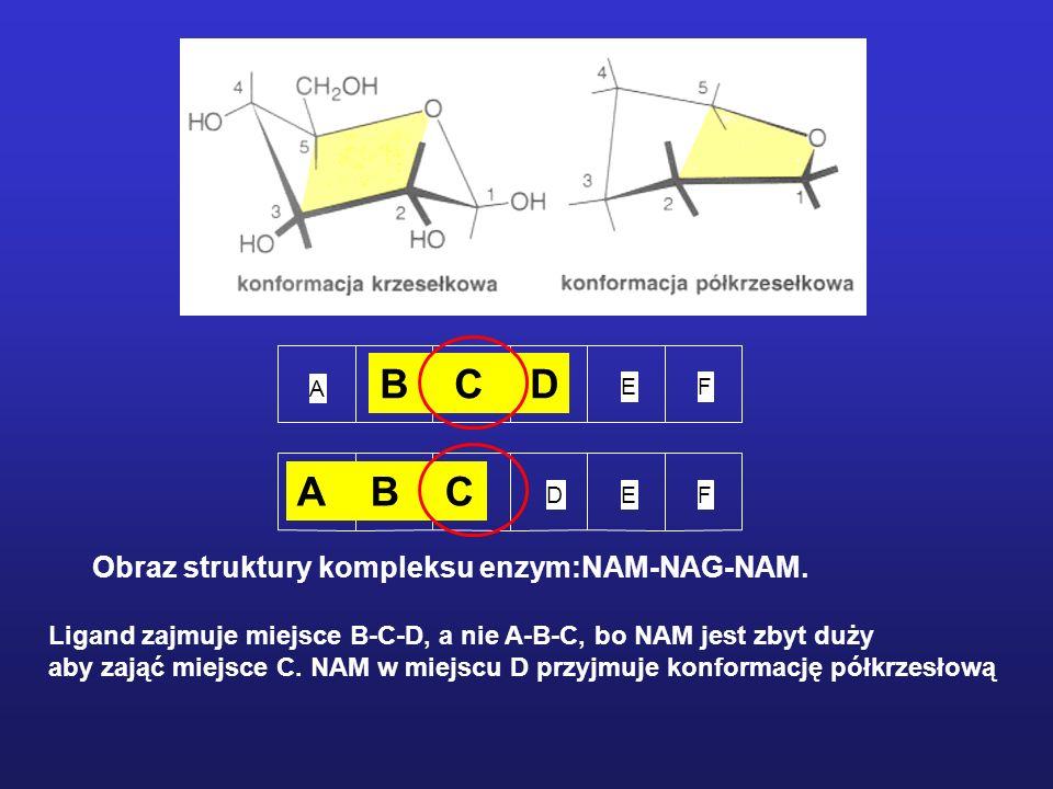 B C D A B C Obraz struktury kompleksu enzym:NAM-NAG-NAM.