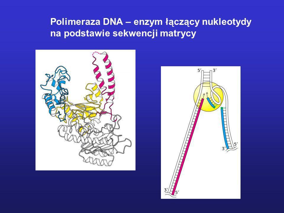 Polimeraza DNA – enzym łączący nukleotydy
