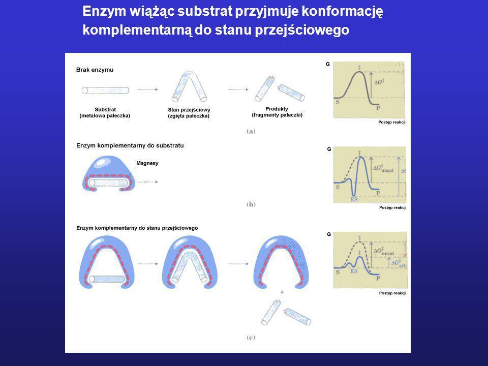 Enzym wiążąc substrat przyjmuje konformację