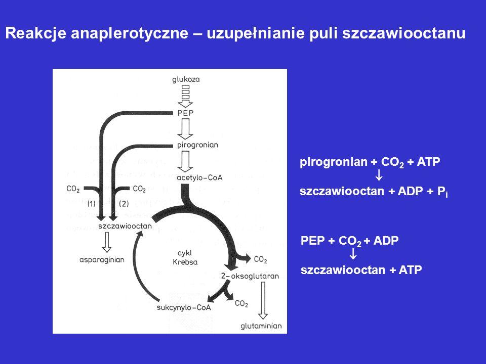 Reakcje anaplerotyczne – uzupełnianie puli szczawiooctanu