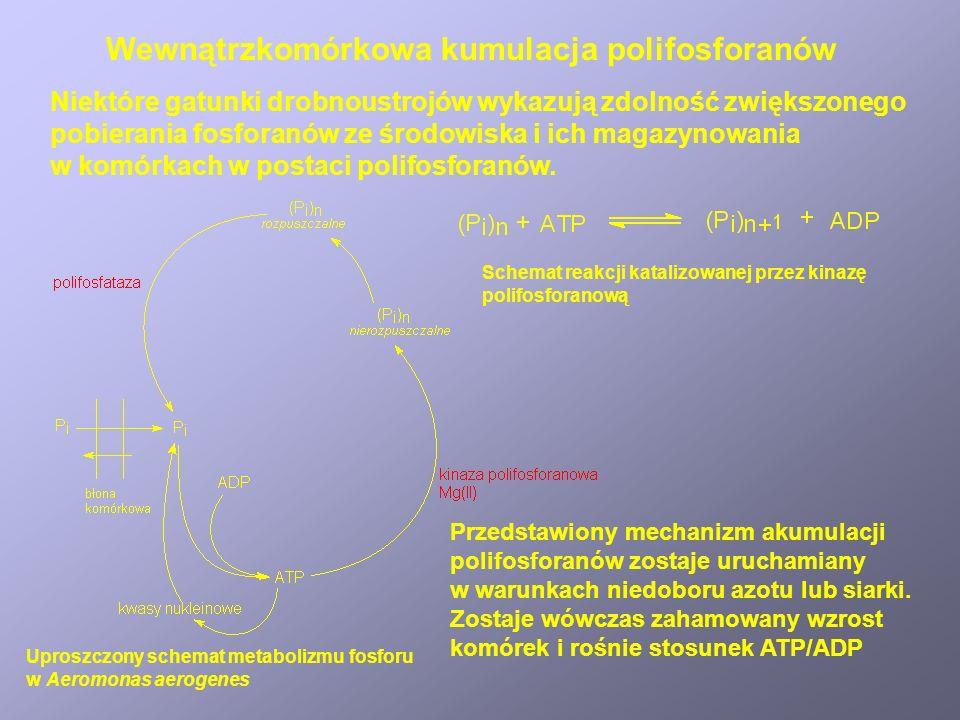 Wewnątrzkomórkowa kumulacja polifosforanów
