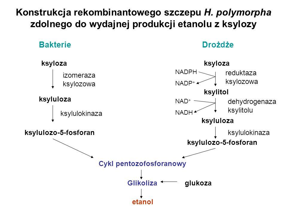 Cykl pentozofosforanowy