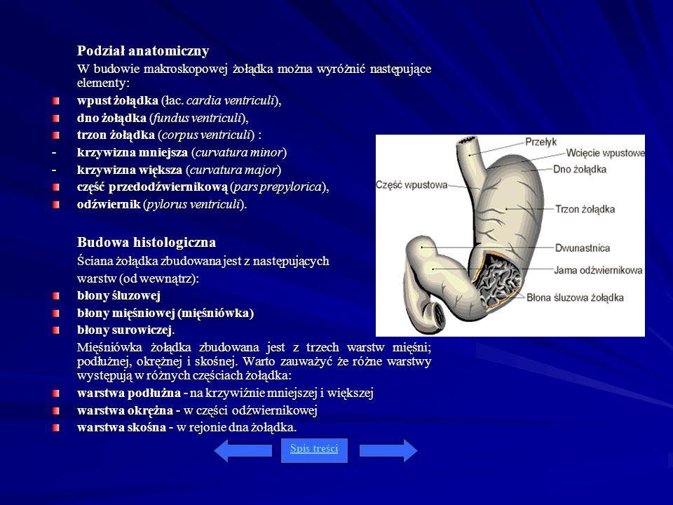 Podział anatomiczny wpust żołądka (łac. cardia ventriculi),