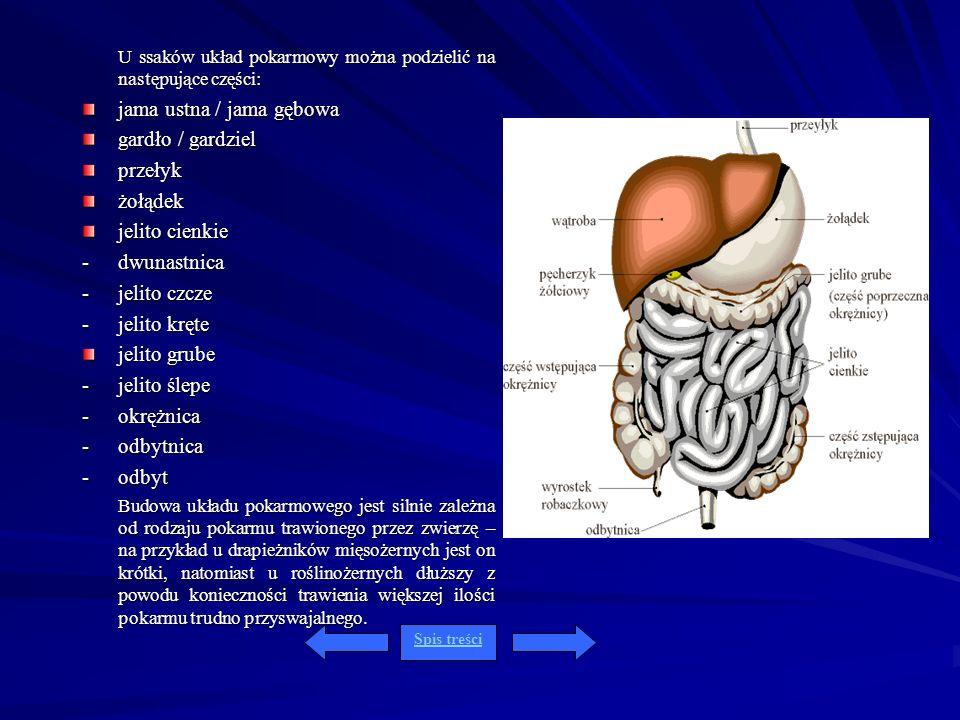 jama ustna / jama gębowa gardło / gardziel przełyk żołądek