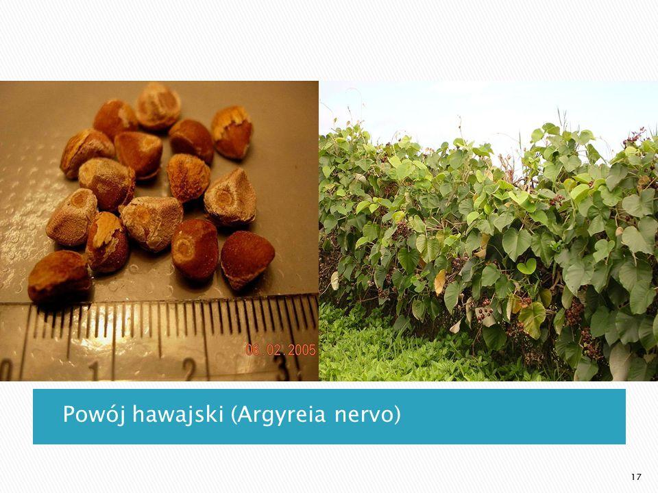 Powój hawajski (Argyreia nervo)