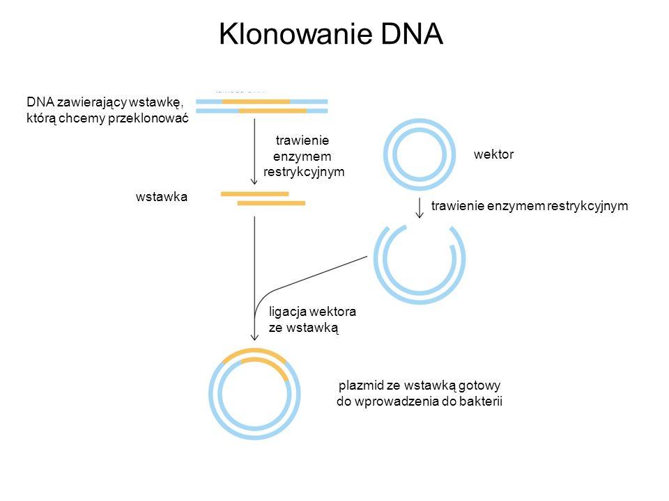 Klonowanie DNA DNA zawierający wstawkę, którą chcemy przeklonować