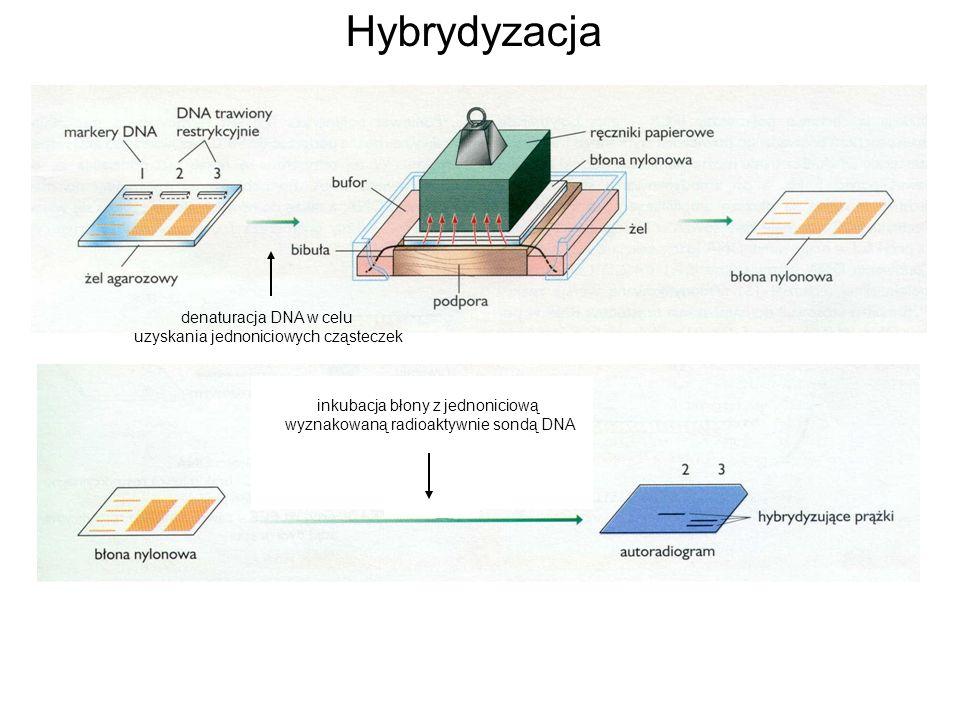 Hybrydyzacja denaturacja DNA w celu