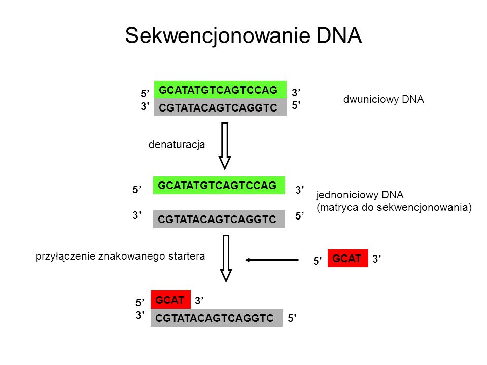 Sekwencjonowanie DNA GCATATGTCAGTCCAG 5' 3' dwuniciowy DNA