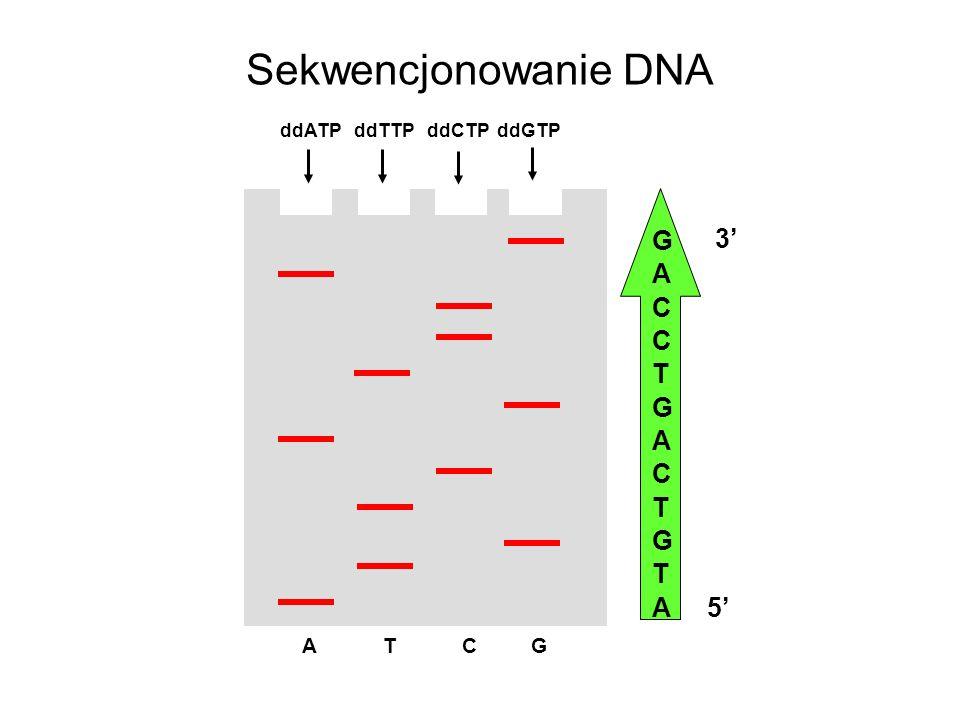 Sekwencjonowanie DNA ddATP ddTTP ddCTP ddGTP G A C T 5' 3' A T C G