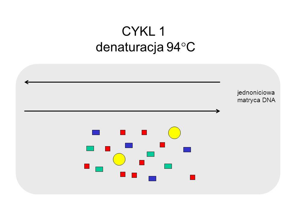 CYKL 1 denaturacja 94C jednoniciowa matryca DNA