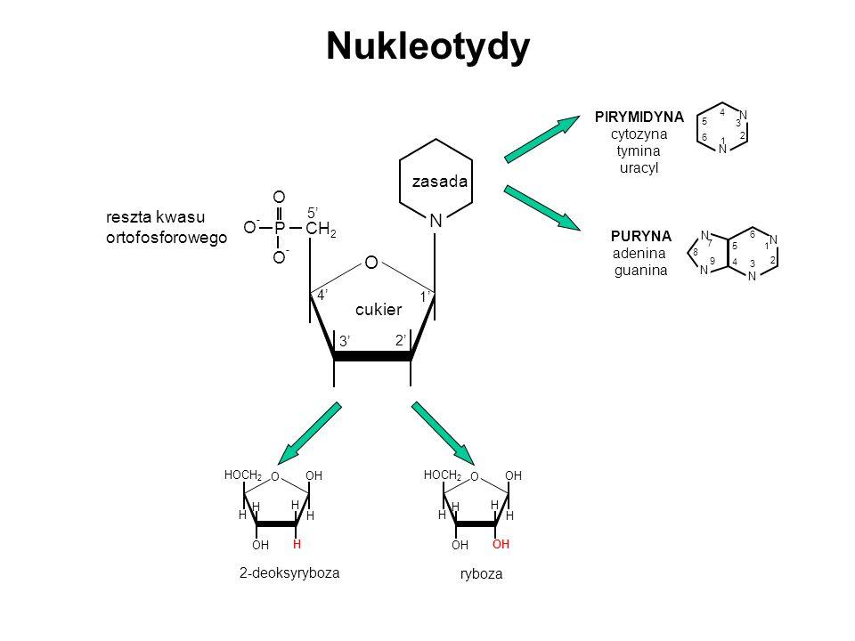 Nukleotydy N O zasada cukier CH2 P O- reszta kwasu ortofosforowego