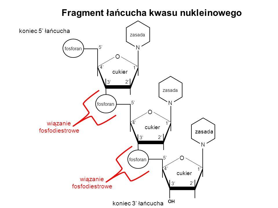 Fragment łańcucha kwasu nukleinowego