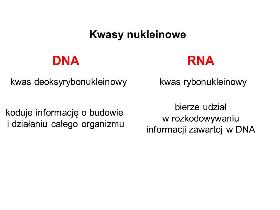 DNA RNA Kwasy nukleinowe kwas deoksyrybonukleinowy kwas rybonukleinowy