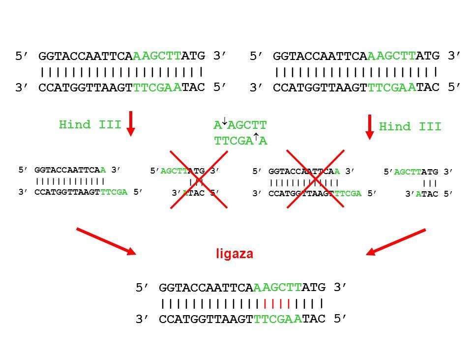 |||||||||||||||||||| 3' CCATGGTTAAGTTTCGA AGCTTATG 3' | ATAC 5'