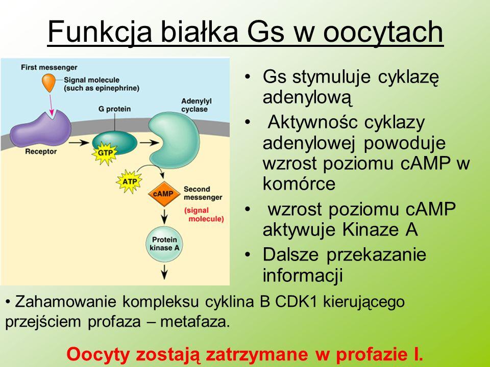 Funkcja białka Gs w oocytach