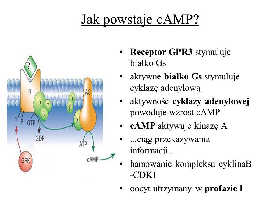 Jak powstaje cAMP Receptor GPR3 stymuluje białko Gs