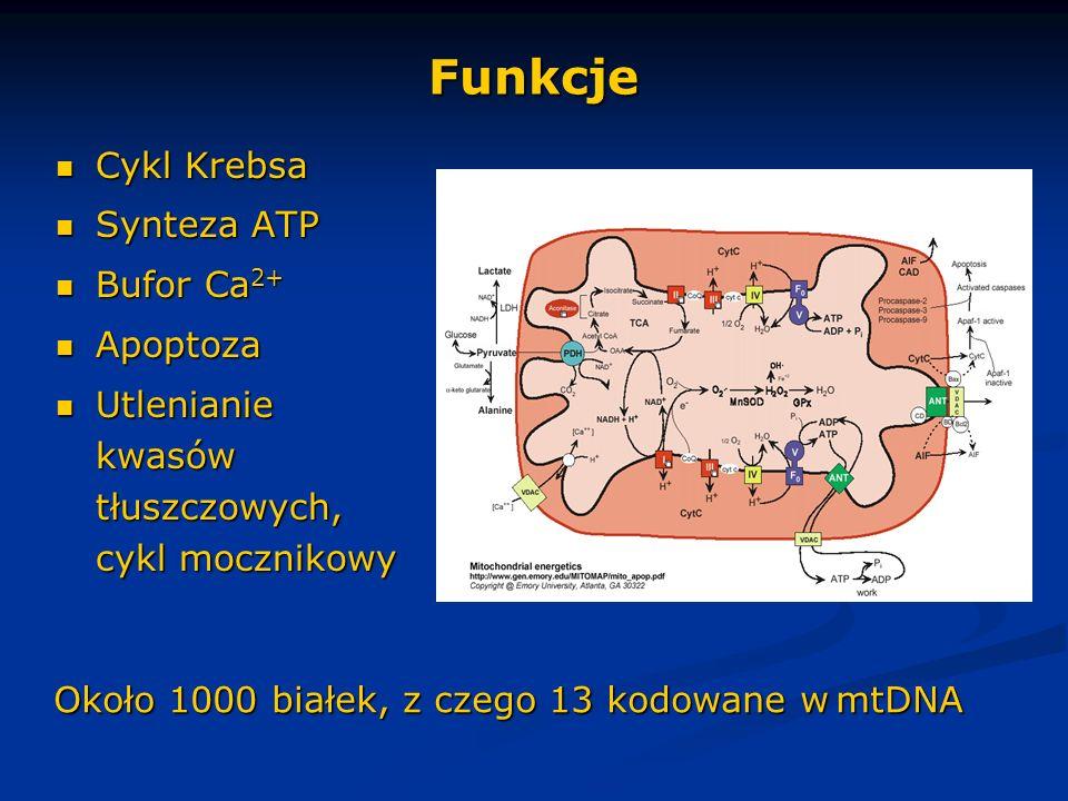 Funkcje Cykl Krebsa Synteza ATP Bufor Ca2+ Apoptoza