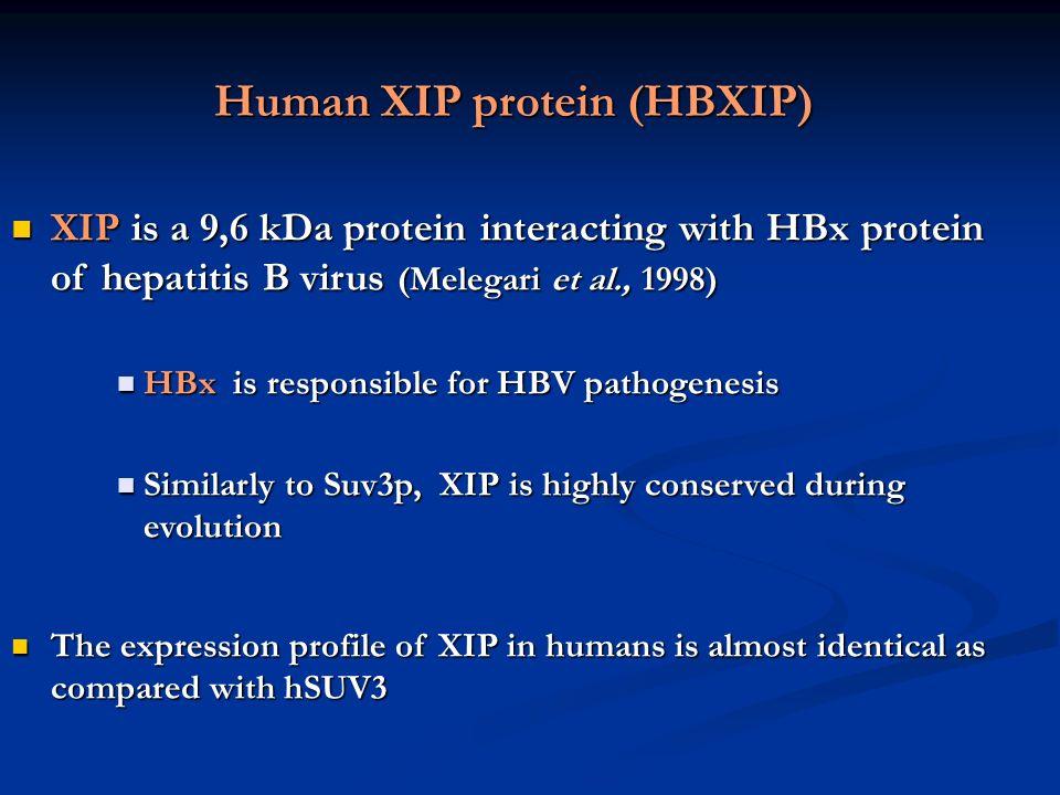 Human XIP protein (HBXIP)