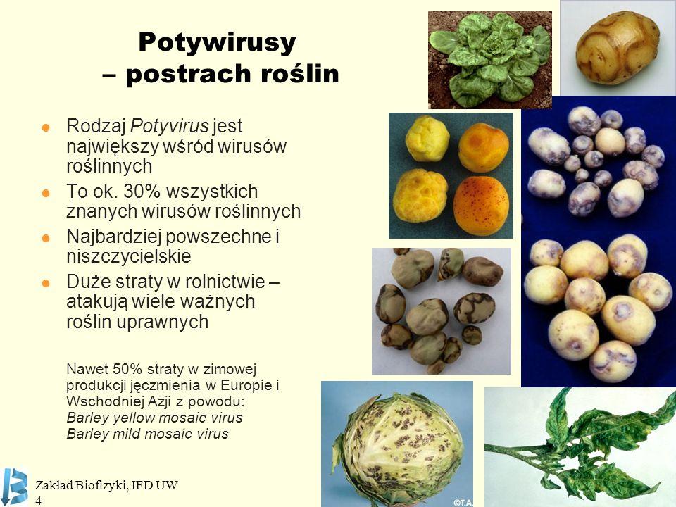 Potywirusy – postrach roślin
