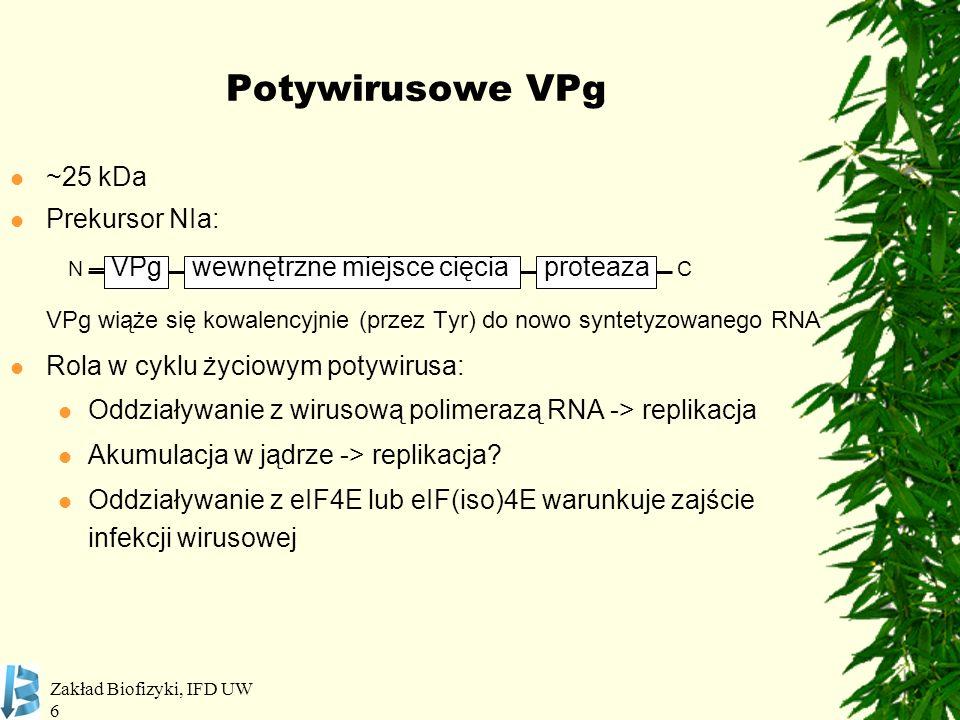 Potywirusowe VPg ~25 kDa Prekursor NIa: