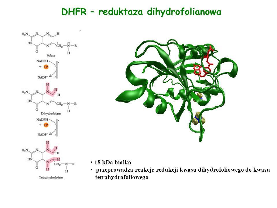 DHFR – reduktaza dihydrofolianowa