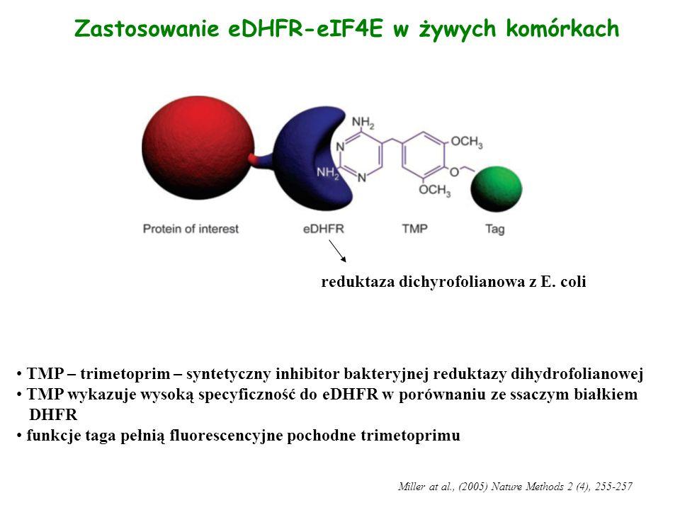 Zastosowanie eDHFR-eIF4E w żywych komórkach