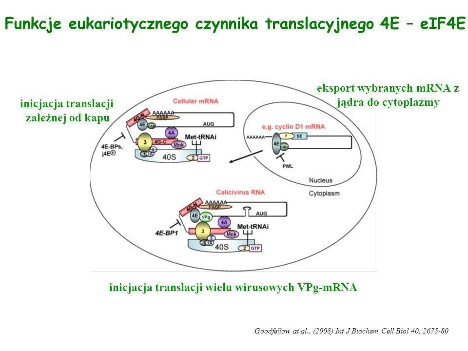Funkcje eukariotycznego czynnika translacyjnego 4E – eIF4E