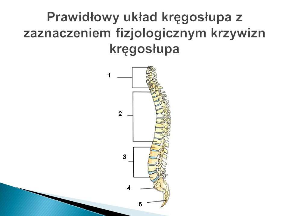 Prawidłowy układ kręgosłupa z zaznaczeniem fizjologicznym krzywizn kręgosłupa
