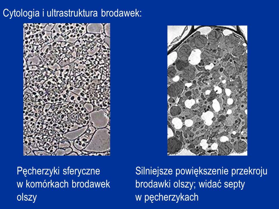 Cytologia i ultrastruktura brodawek: